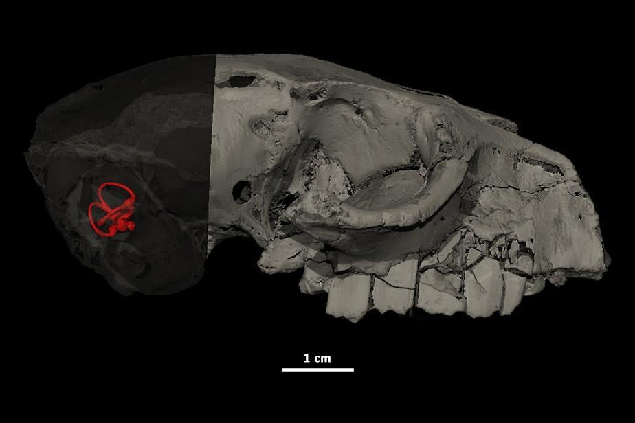 oreille interne d'Hegetotherium