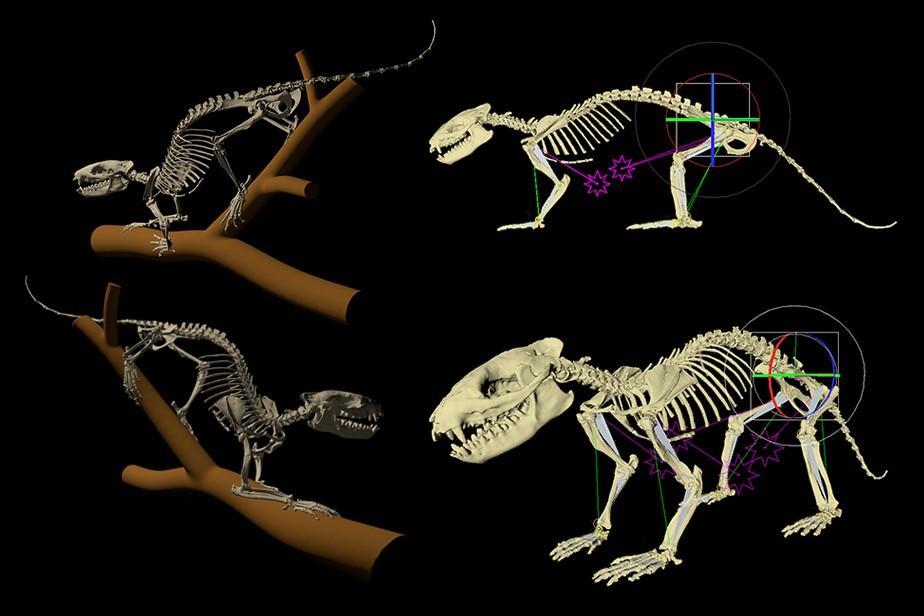 Posing 3D d'Alcidedorbignya inopinata