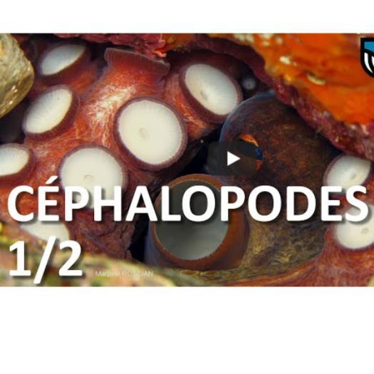 cephalopodes_vignette_podcast.jpg