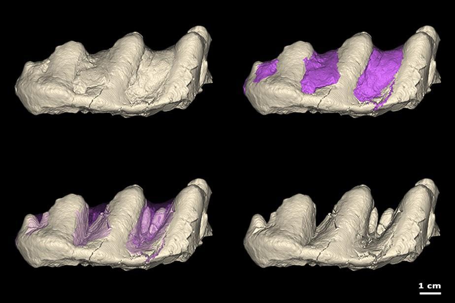 molaire inférieure de proboscidien fossile