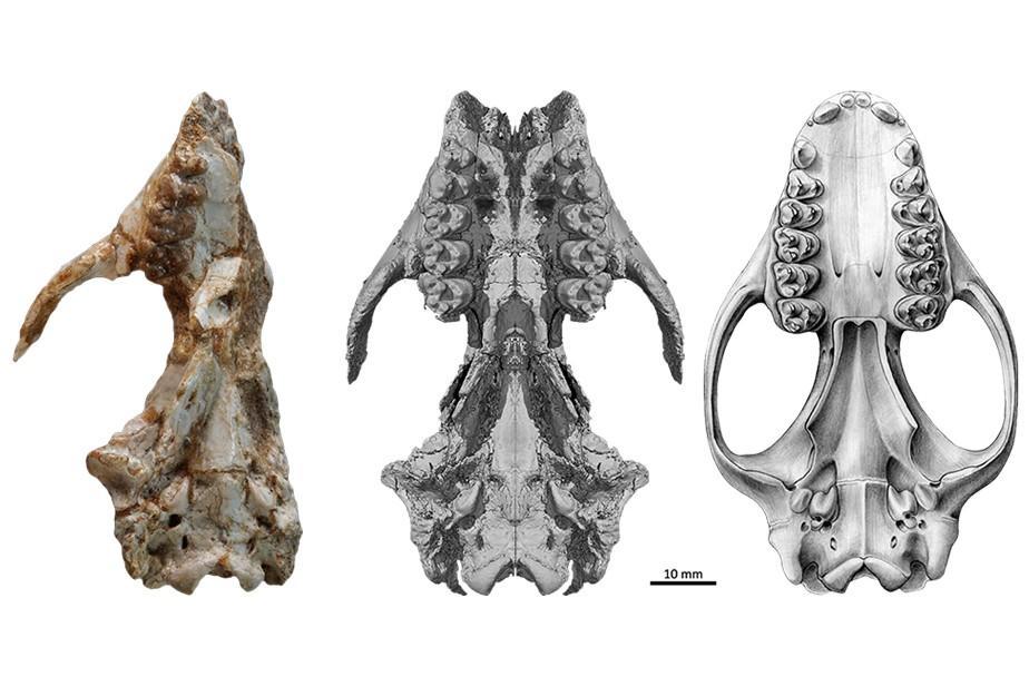 crâne d'Ocepeia