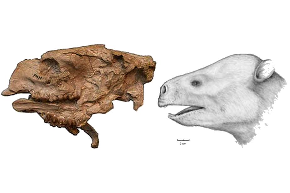 "Mammalia (Placentals) : Hyaenodontid ""creodonts"", proboscideans, hyracoids and ""condylarths"""